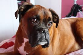 boxer dog uk joey u0027s legacy boxer rescue