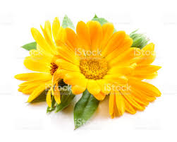 calendula flowers calendula flowers with leaves isolated on white stock photo more