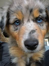 australian shepherd owners my future pup he or she is gonna be an australian shepard pup