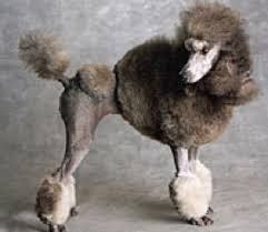 standard poodle hair styles the genesis of the poodle hairdo