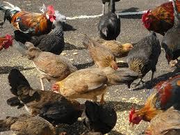 wild chickens kauai hawaii backyard chickens