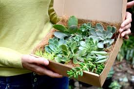 succulent gift box succulent plants with roots gift wrapped for