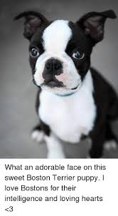 Puppy Face Meme - siunistapy2 what an adorable face on this sweet boston terrier