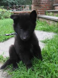 belgian sheepdog size and weight 118 best belgian sheepdogs images on pinterest belgian shepherd