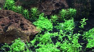 Aquascaping Plants Monte Carlo Best Carpeting Plant Aquascaping Youtube