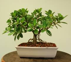 green island ficus bonsai tree u2013 wigert u0027s bonsai