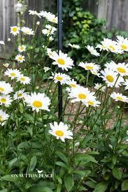 best 25 shasta daisies ideas on pinterest cottage gardens full