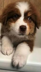 australian shepherd odor casey july 27 australian shepherd dog a day for canine