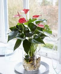 buy house plants now bare rooted anthurium bakker com