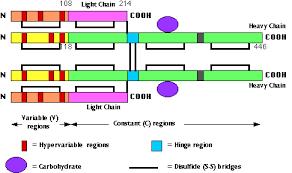 difference between kappa and lambda light chains antigen receptors
