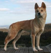 boxer x red cattle dog australian cattle and australian stumpy tail cattle dogs janedogs