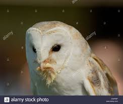 barn owl tyto alba eating a uk stock photo royalty free