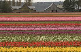 skagit valley tulip festival bloom map 2017 skagit valley tulip festival pictures blume map arts