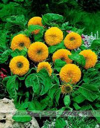 aliexpress buy 3 29 big promotion sunflower seeds