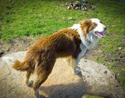 belgian shepherd or border collie do you know numerous types of strong and sturdy shepherd dogs