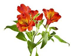 Alstroemeria Alstroemeria Definition And Meaning Collins English Dictionary