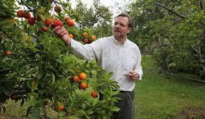 citrus greening disease threatens california trees the new york