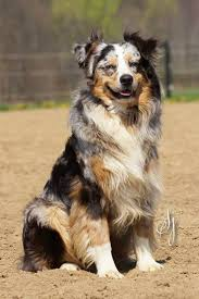 australian shepherd 1 year old ss australian shepherds home facebook