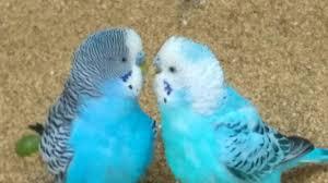 romantic colorful love birds youtube