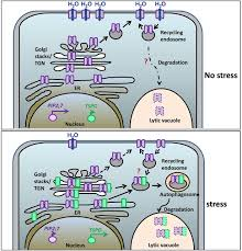the arabidopsis abiotic stress induced tspo related protein