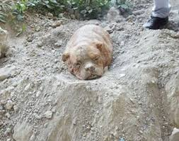 Dog Burial Backyard French Dog Owner Who Buried Pet Alive Is Arrested After Outrage