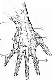 The Human Body Picture Anatomyand Structure Drawing Hands Joshua Nava Arts