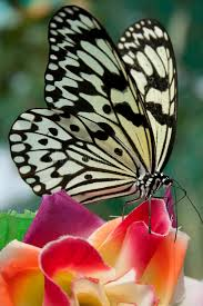 white tiger butterfly stock image image of butterflies 29904679