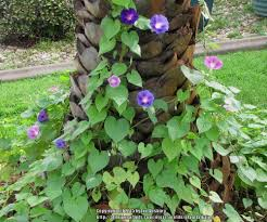 ask a question forum ornamental sweet potato vines garden org
