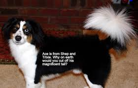 australian shepherd puppy cut aussies with long tails kaleidoscope toy and miniature natural