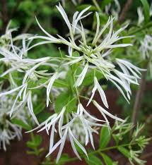 native plants of georgia using georgia native plants fringe benefits with chionanthus