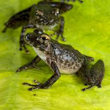 the death of the dinosaurs was good news for frogs cosmos