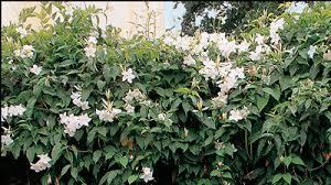 Mandevilla Plant Diseases - gardening australia plant profile mandevilla