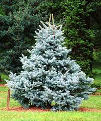 colorado blue spruce tree planted 27 of these babies now
