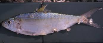 bonga shad fish modern farming methods