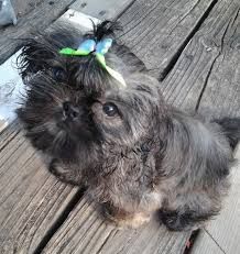 affenpinscher ottawa chinese imperial dog breed information and pictures