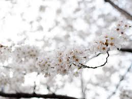 white cherry blossom cherry blossom tree white vivat veritas