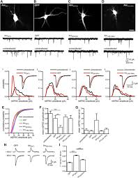 activity regulated cytoskeleton associated protein controls ampar