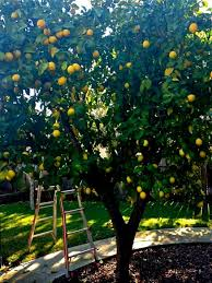 backyard garden with lemon fruit trees time to pruning fruit