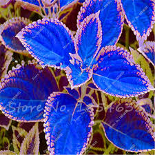 How To Grow Coleus Plants by Free Shipping 100 Pcs Colored Grass Seeds Indoor Potted Bonsai