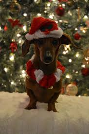 funny thanksgiving dog pictures 1301 best wiener dog love images on pinterest weenie dogs