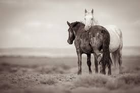 Black Mustang Horse Pictures Home Wild Horse Black And White Photography Kimerlee Curyl