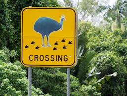 threat to far north queensland cassowaries a case for worry the