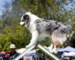 australian shepherd akc dogbreedz photo keywords australian shepherd