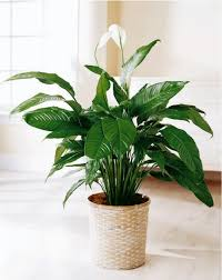 Peace Lily Plant Top 10 Nasa Approved Houseplants For Improving Indoor Air Quality