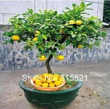 the 25 best bonsai tree price ideas on japanese maple