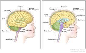 Brain Stem Anatomy Cancertypes Childhood Brain Stem Glioma Treatment Pdq