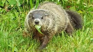 groundhog ala woodchuck youtube