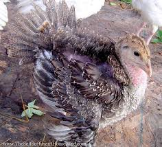 how to raise turkeys the self sufficient homeacre