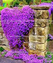 100 rock cress aubrieta cascade purple flower seeds deer