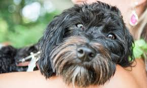 affenpinscher havanese mix the havanese pack photos of havaneses
